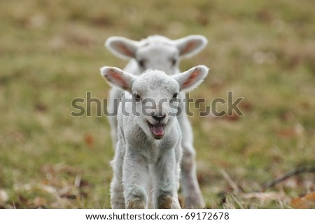 Young Lambs - stock photo