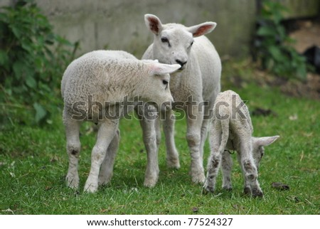 Young lambs eating and playing in spring pasture
