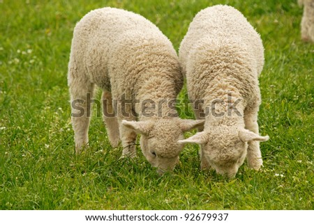 young lambs feeding on green grass - stock photo