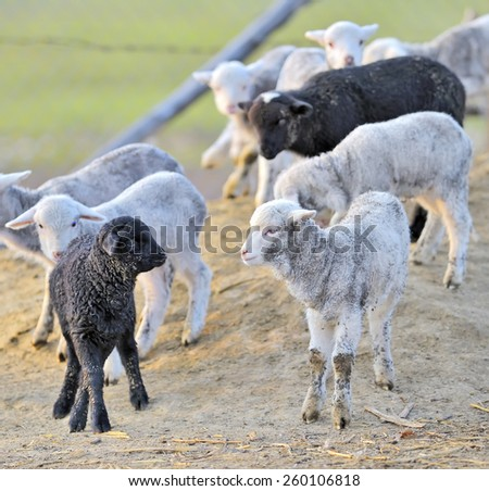Young lambs in sping time - stock photo