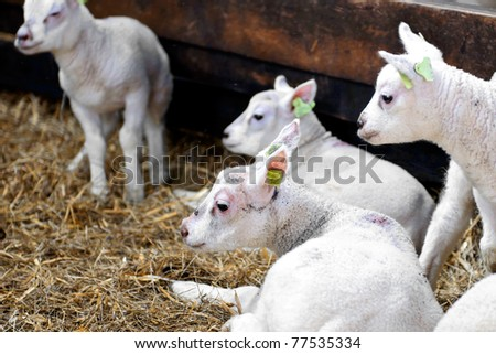young lambs in stable