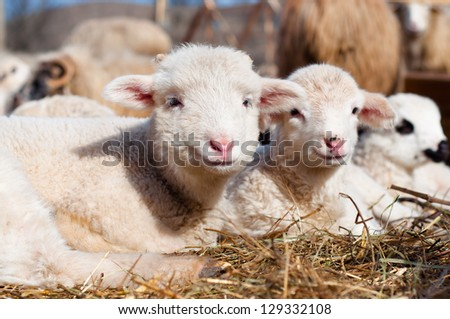 young lambs smiling and looking at camera while eating and sleeping - stock photo