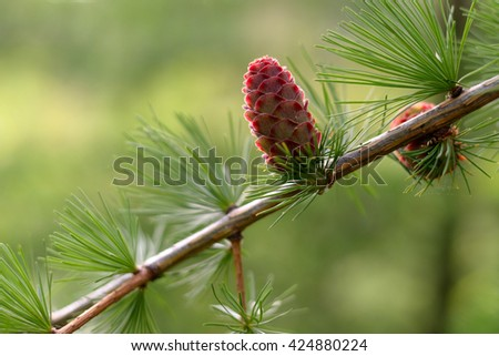 Young larch cones - stock photo