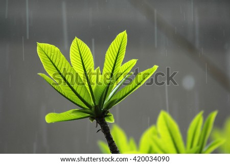 Young leafs of cannonball tree (Sa-La tree) in the drizzle