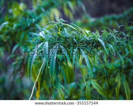 Young leafs of marijuana plant, ganja canabis foliage. - stock photo