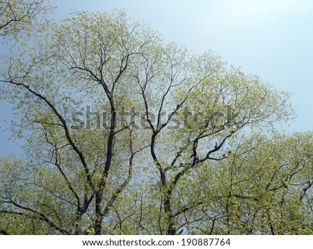 young leafs on tree at spring dry day - stock photo