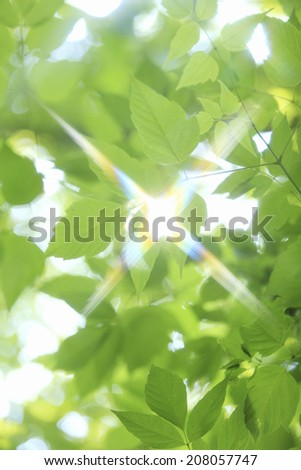 Young Leaves And Sunshine Coming Through Them