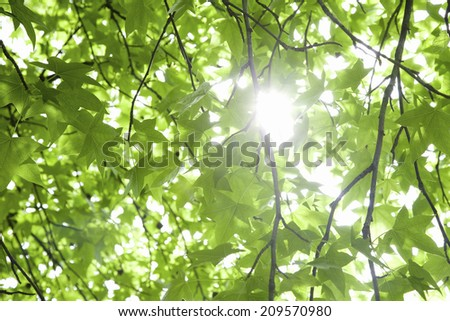 Young Leaves Of Maple - stock photo