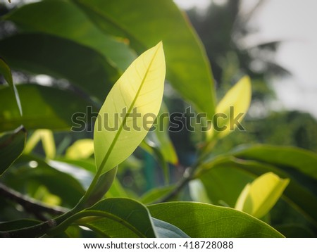 Young leaves of the White Champaka and light of the sun