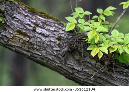 young leaves on old branch - stock photo