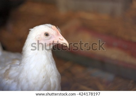 Young Leghorn hen closeup portrait