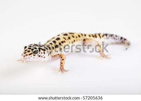 Young Leopard gecko a white background - stock photo