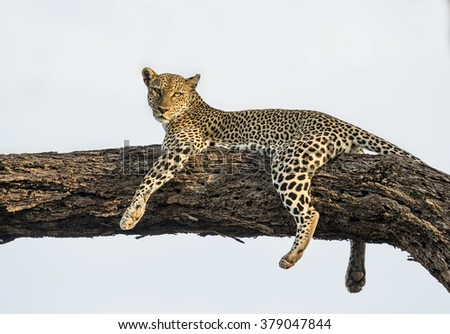 Young leopard in tree - stock photo