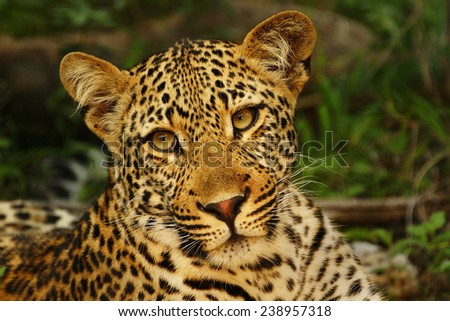 Young Leopard Portrait - stock photo