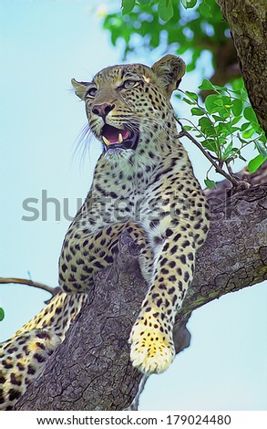 Young leopard siiting on the branch in south african national park - stock photo