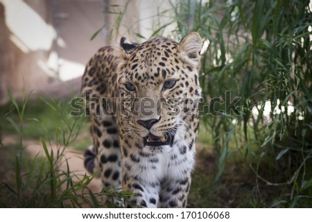 Young leopard walking in the zoo - stock photo
