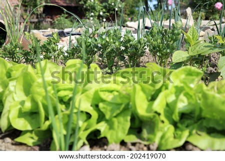 Young lettuce and celery in vegetable intercropping cultivation. Eco-friendly backyard garden, vegetable garden. - stock photo