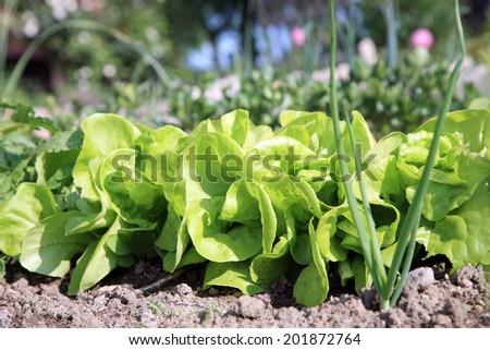 Young lettuce in ecological home garden. Eco-friendly backyard garden, vegetable garden. - stock photo