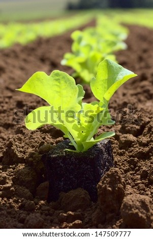 young lettuce in the field