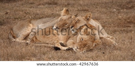 Young lion and two lionesses sharing a snooze. - stock photo