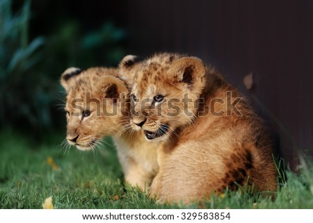 Young lion cub in the green grass on a Sunny day - stock photo