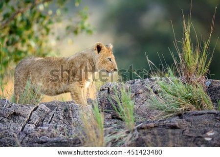 Young lion cub in the wild. National park of Africa - stock photo