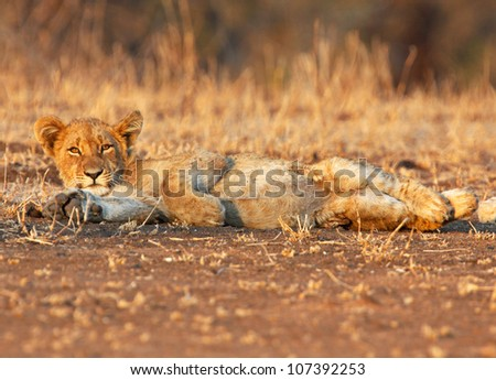 Young lion cub lounging in the golden morning light