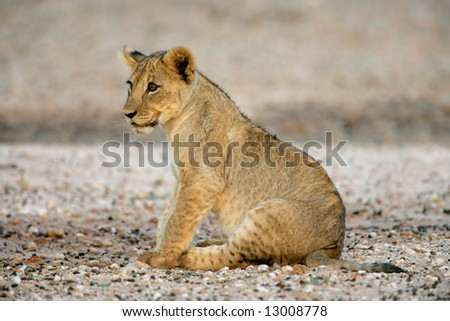Young lion cub (Panthera leo), Kalahari desert, South Africa