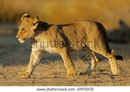 Young lion cub (Panthera leo), Kalahari desert, South Africa - stock photo