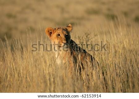 Young lion cub (Panthera leo) sitting among grasses, Kalahari, South Africa - stock photo