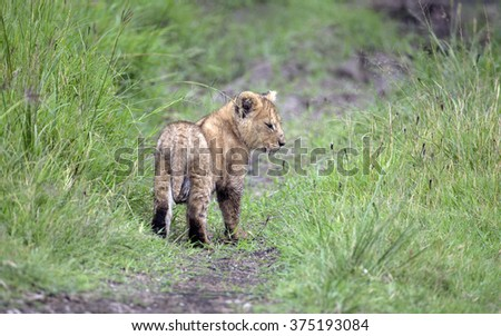 Young lion cub   Young lion cub   - stock photo