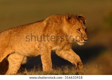 Young Lion of Double Cross Pride at sunrise in Masai Mara, Kenya - stock photo