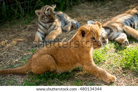 young lion playing  with tiger cubs