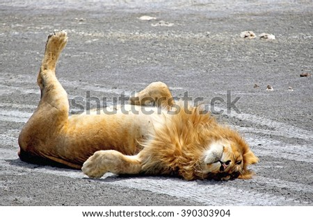 Young lion resting on the road, Serengety national park, Tanzania, Africa - stock photo