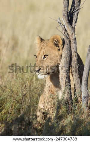 young lion sitting behind a bush in the grass of the savanna, Kutse Game Reserve, Botswana, Africa - stock photo