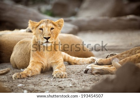 Young lioness during afternoon rest