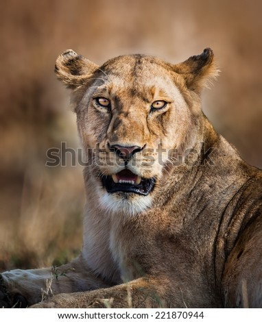Young lioness of Africa - stock photo
