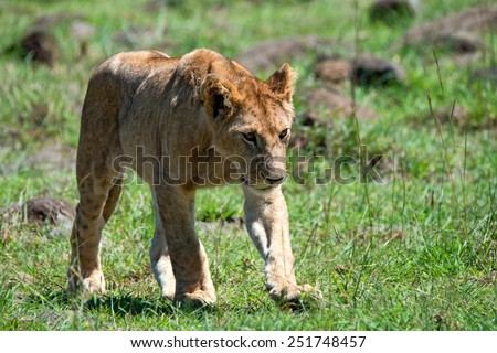 Young lioness ( Panthera leo ) is walking in national park