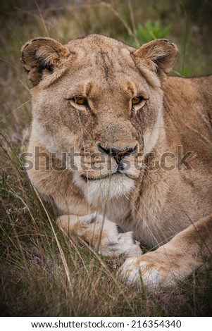 young lioness, resting in the grassland, ever watchful for a meal
