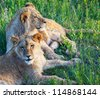 young lions - stock photo
