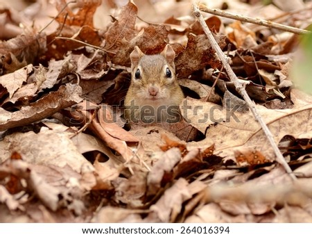 Young little chipmunk hidden among fallen autumn leaves - stock photo