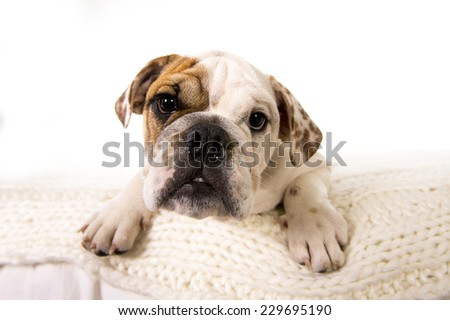 young little French Bulldog cub lying on bed at home looking curious at the camera isolated on white background studio lighting in sweet domestic dog pet concept