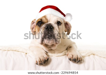 young little French Bulldog cub lying on bed at home with Christmas Santa dog hat  looking curious at the camera isolated on white background studio lighting as greeting card - stock photo