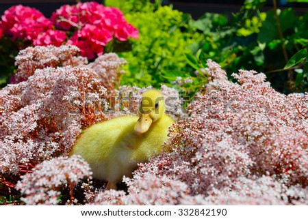 Young little yellow duck between flowers in garden