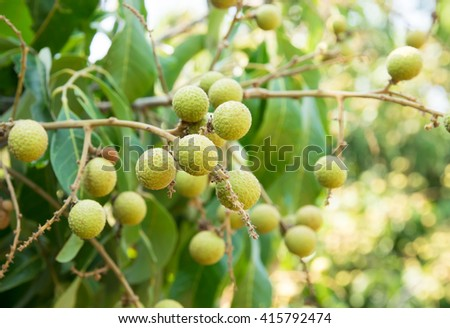 Young longan ,Agriculture north of ThaiLand - stock photo