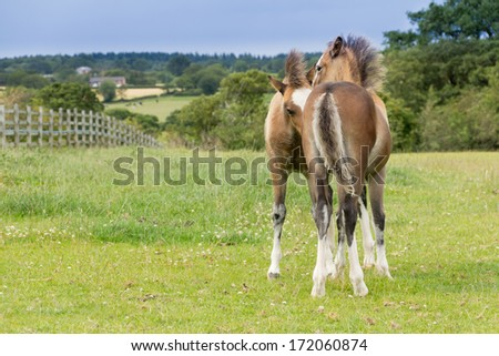 Young love-two baby foals stand entwined to field in english countryside on a summers day enjoying being together. - stock photo