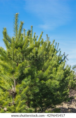 Young lush green pine against the sky