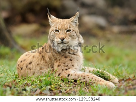 Young lynx on grass in nature