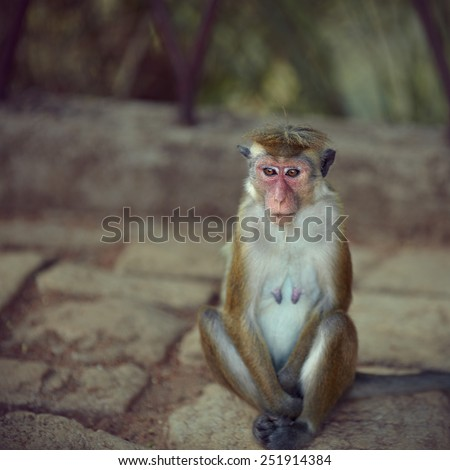 Young macaque resting in the shade at the cobbles - stock photo
