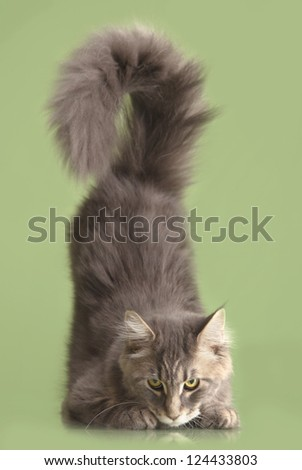 young Maine Coon cat isolated over green background